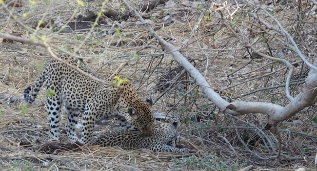 photo msiafricaroadtrip.com léopards : la maman et un bébé. Au Kruger Afrique du Sud