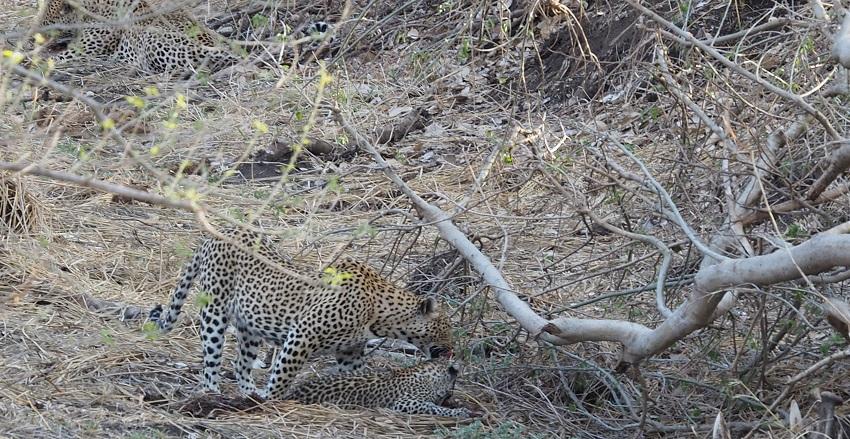 photo msiafricaroadtrip.com trois léopards : deux adultes et un bébé. Au Kruger Afrique du Sud