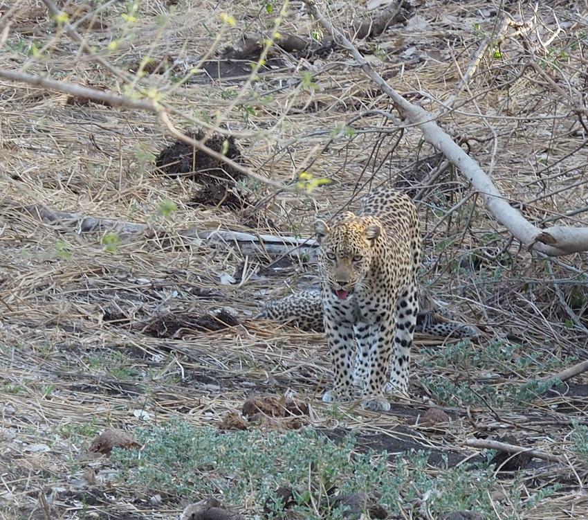 photo msiafricaroadtrip.com léopard  Au Kruger Afrique du Sud