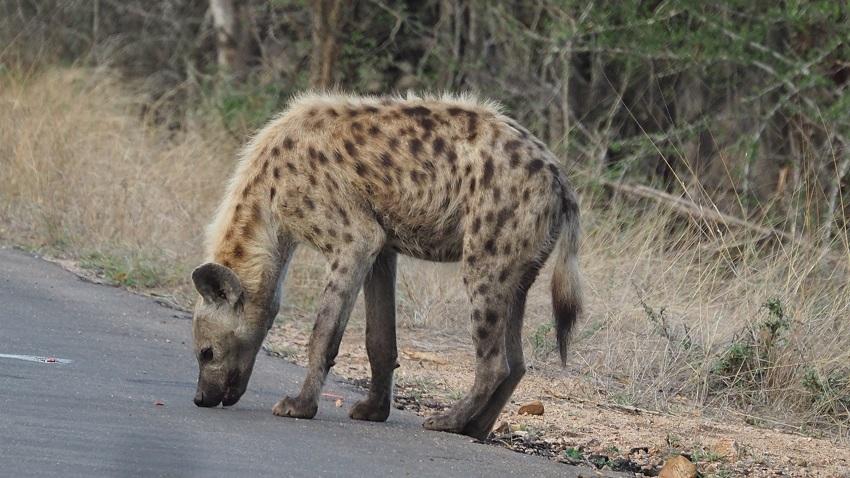 photo msiafricaroadtrip.com Hyène sur la route au Kruger BALULE afrique du sud