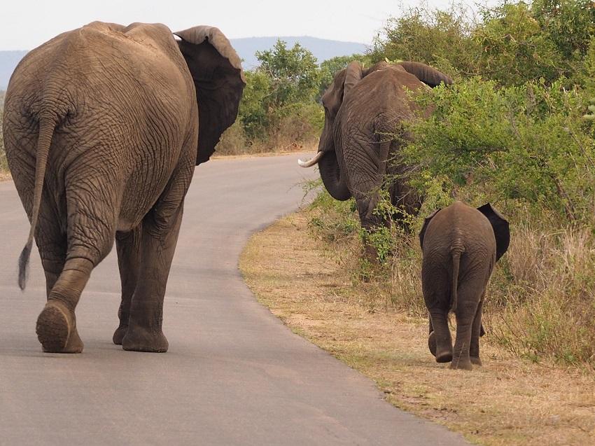 2 éléphants adultes et un bébé au Parc Kruger Afrique du Sud