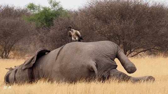 khuste game reserve le  Kalahari . traversée du CKGR Botswana. un éléphant mort entouré des vautours.